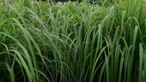 Cymbopogon genus plant